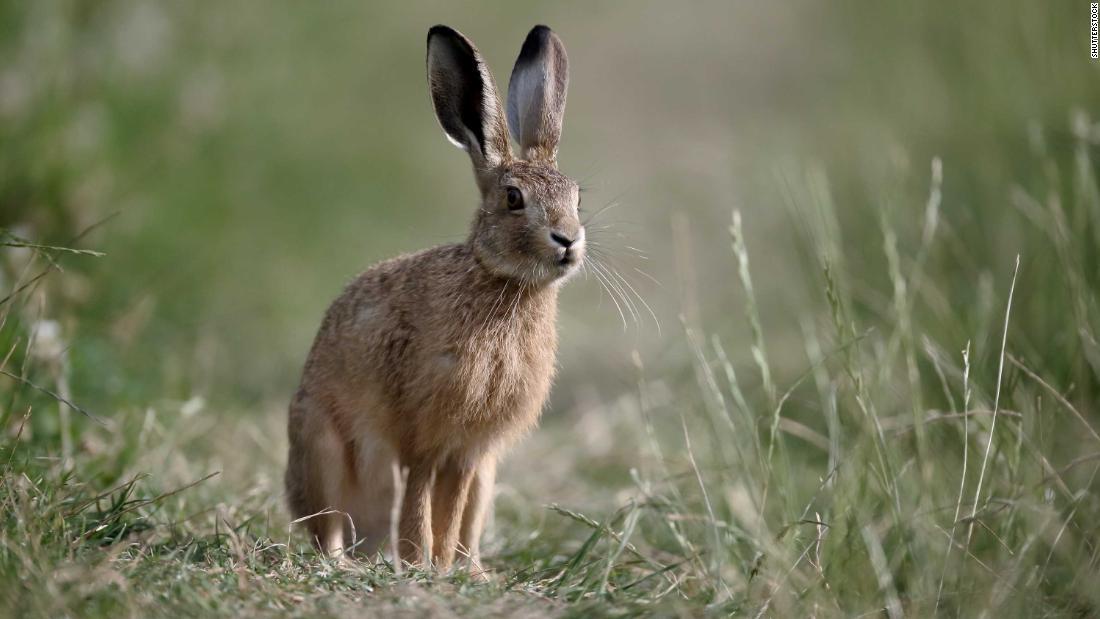 Gli antichi britannici non mangiavano lepri o galline: li adoravano