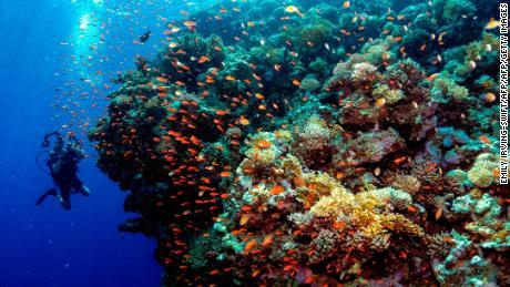 Le fattorie di coralli possono salvare le nostre barriere coralline?