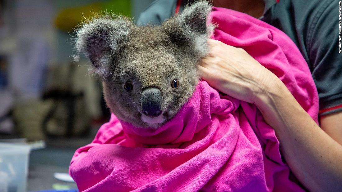 I koala feriti negli incendi boschivi australiani vengono rimessi in libertà